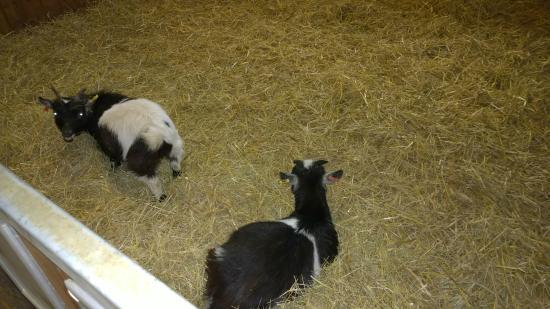 Wiltshire, UK: Sheep