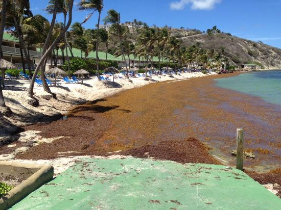 St. James's Club & Villas: Atlantic bay deep in seaweed, one days amount!