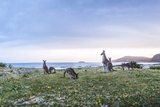 Kangaroos on Pebbly Beach, South Coast New South Wales