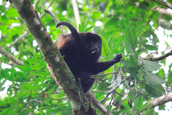 Pacific Journeys : Howler we saw near the garden