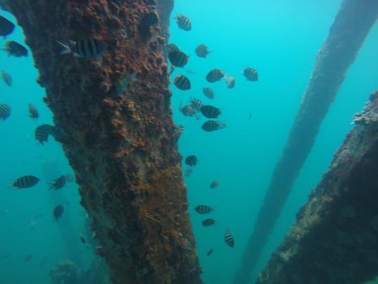 Mosquito Pier : Abundance of Fish below the pier