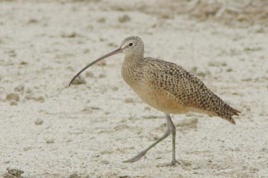 Willcox, AZ: This Whimbrel was comfortable with me only 20 feet away