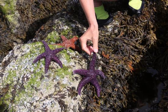 MGM Seashore Bed & Breakfast: purple seastars
