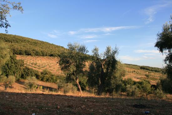 Agriturismo Masseria Giordano: Ulivi