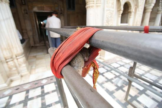 Karni Mata Temple: Inside the temple the rats are hidden everywhere