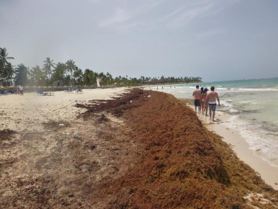 Sea weed - Picture of Caribe Club Princess Beach Resort & Spa, Punta Cana - TripAdvisor