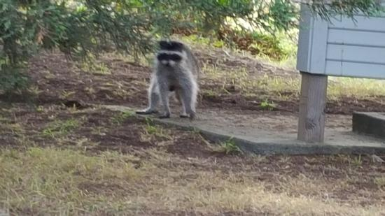 Bodega Dunes Campground: Raccoon