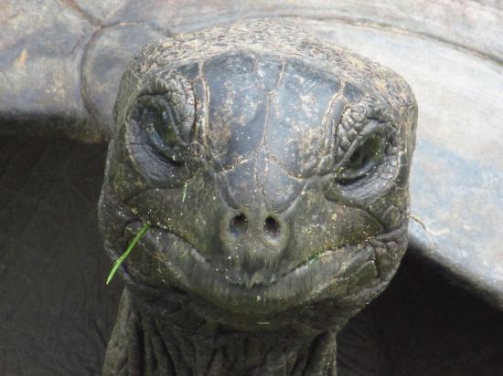 جزيرة براسلين, سيشيل: tartaruga n°90