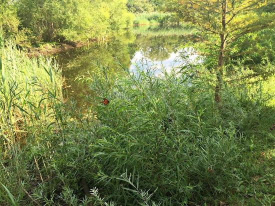 Fairmount, IL: Monarch by the pond at Sleepy Creek Vineyard