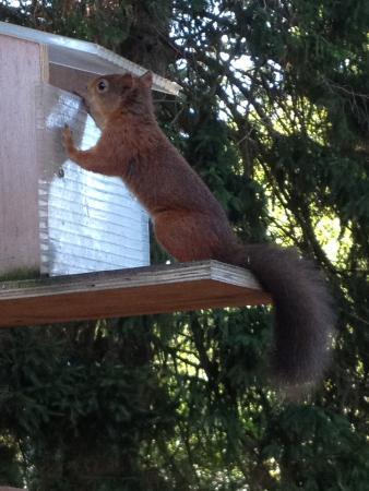 Greystones B&B : Red squirrel 2
