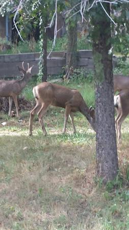 Noisy Water Lodge: Local deer