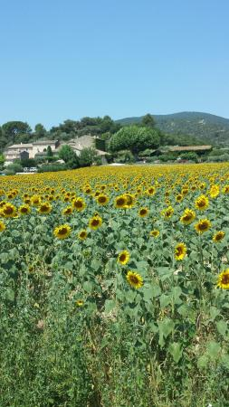 Lourmarin sunflower fields