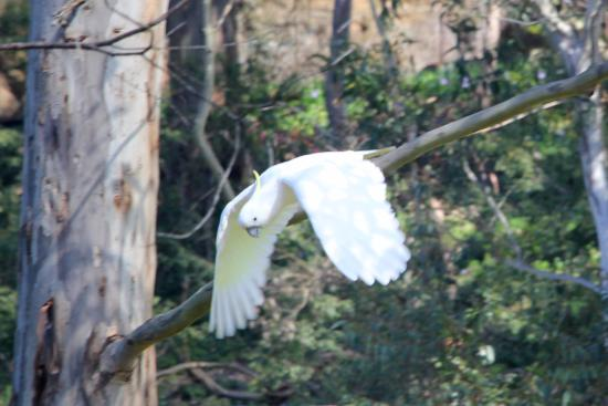 Lane Cove National Park: cockatoo at Lane Cove