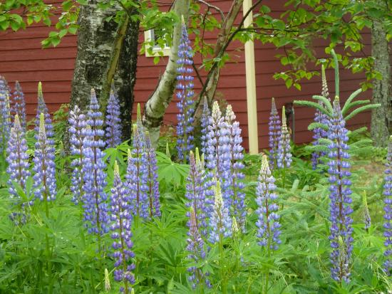 Gooseberry Cabins: Summer lupine