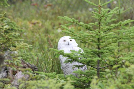 Salmonier Nature Park : Schneeeule