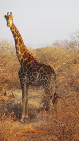 Palala Boutique Game Lodge and Spa: Giraffe