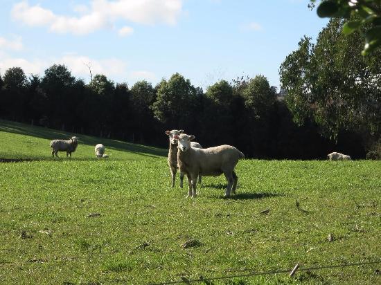 Kamahi Cottage: Cute sheep right outside the cottage!
