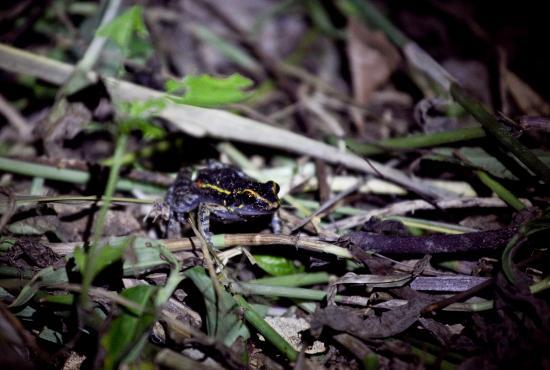 Hospedaje Golondrinas : Jungle Tour Photos - Spot-legged poison frog