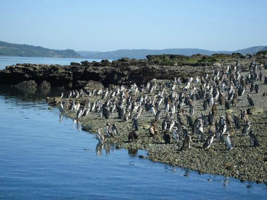 Colonia de pingüinos Magallánicos de Islote Conejos en Queilen.