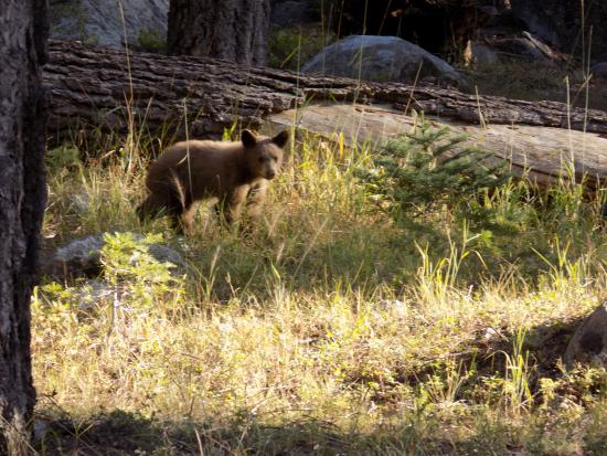 Lodgepole Campground: Baby bear in campground