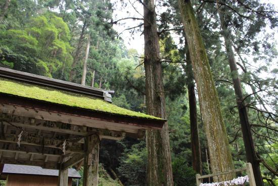 Toshogu : 水屋と杉