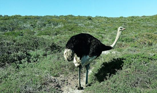 Cape Town Day Tours: Ostriches in the Cape of Good Hope reserve