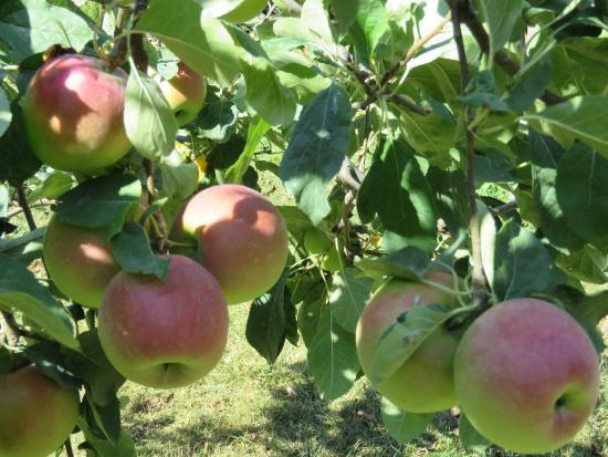 Dzhankhot, روسيا: яблоки