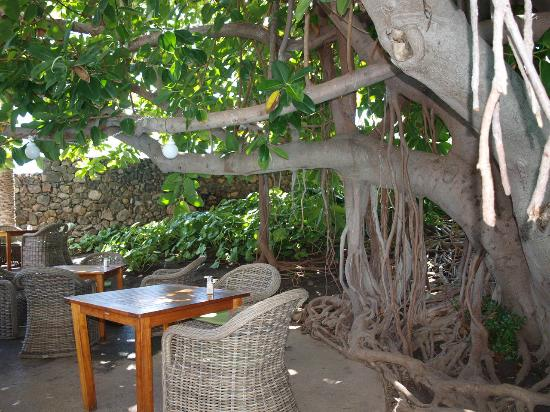 Hacienda San Jorge: Restaurantterrasse unterm Gummibaum