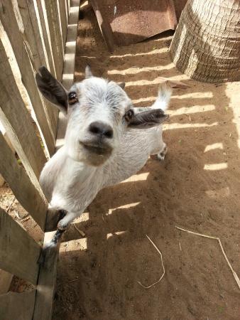 Hotel Coco Beach : Pygmy goats
