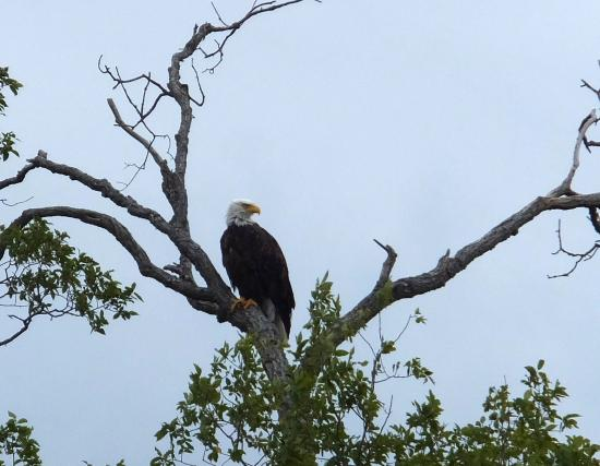 bald eagle perched in a tree tamarac wildlife refuge picture of