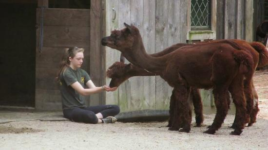 Winslow Farm Animal Sanctuary: Volunteer with our 3 alpaca girls.