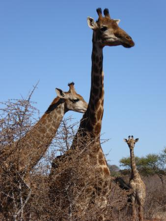 Mosetlha Bush Camp & Eco Lodge: Giraffe