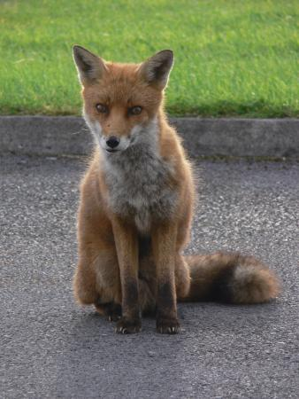 Sea-side B and B: fox at breakfast