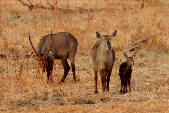 Mushroom Lodge: waterbuck family