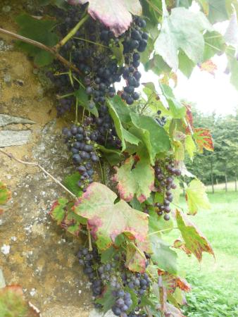 La Caillere-Saint-Hilaire, Frankrijk: Beautiful edible grapes