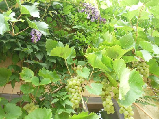 La Caillère-Saint-Hilaire, Francia: grapes