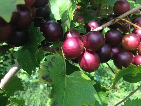 Six Mile, Karolina Południowa: Muscadines at The Happy Berry, September 2015