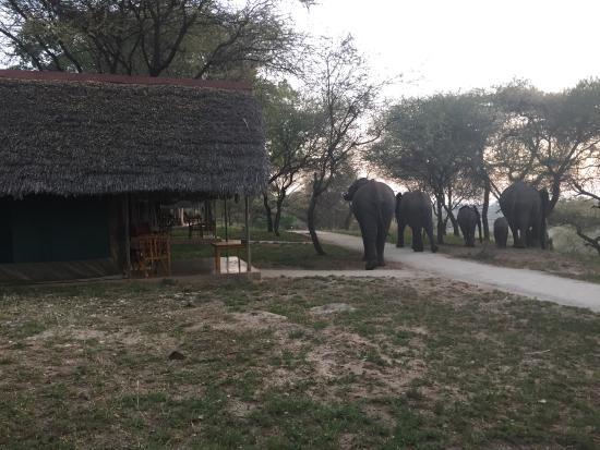Tarangire Safari Lodge: Слоники и палатки