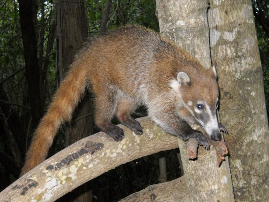 Coati Picture Of Sandos Caracol Eco Resort Playa Del
