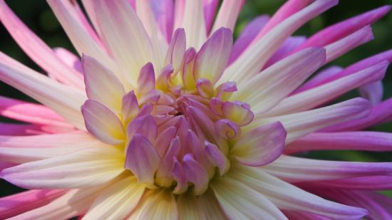 West Green House: Dahlia in the Walled Garden at West Green Gardens