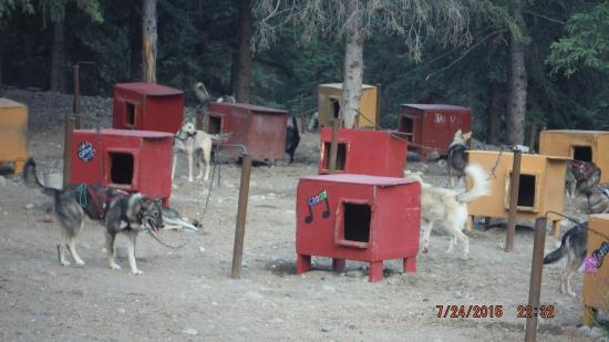 Husky Homestead Kennels Picture Of Husky Homestead Denali - Husky homestead
