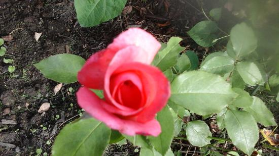 Greencrest Manor : A gorgeous rose...