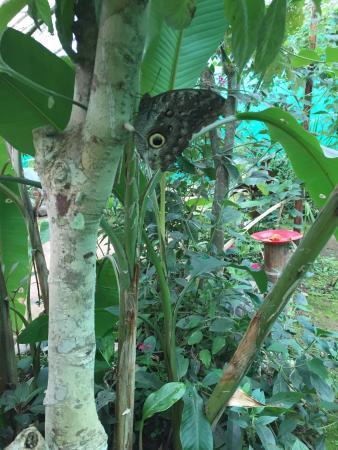 Nathaly Butterfly Garden: big owl eye