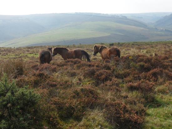 Twitchen Farm: Exmoor Ponies