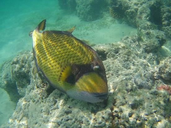 Marsa Alam, Egito: pesce balestra titano