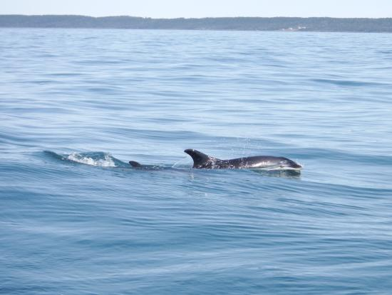 Freeport Whale & Seabird Tours: Atlantic white sided dolphin and baby