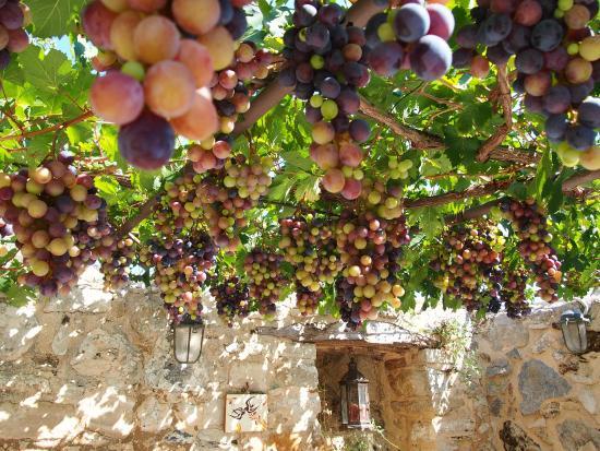 Villa Kerasia: Grape vines