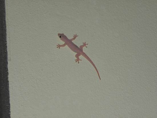 Celyn Resort Kinabalu: gecko