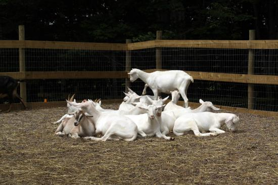 The Great Canadian Soap Co.: Goats relaxing in the goat pile