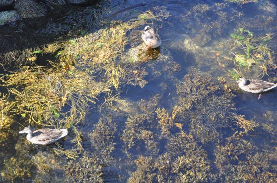 Newagen, เมน: ducks in water
